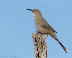 Curve-billed Thrasher (Matt Shellenberg) Tags: bird sky curvebilled thrasher curvebilledthrasher arizona desert southwest mimid matt shellenberg