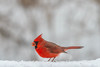 fiery red (jimmy_racoon) Tags: 70200 f4l is canon 7d northern cardinal birds fiery nature red winter 70200f4lis canon7d northerncardinal