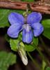 2018_04_0090 (petermit2) Tags: wildviola viola pottericcarr potteric doncaster southyorkshire yorkshirewildlifetrust wildlifetrust ywt