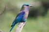 Indian Roller (!! Michael Francis !!) Tags: indianroller birdsofindia kaziranga coraciasbenghalensis