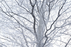 Life (George Pancescu) Tags: nikon d810 70200mm tampa tree snow snowing winter nature natural outdoor