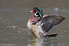 A-Ten-Hut! (Male Wood Duck) (Mitch Vanbeekum Photography) Tags: woodduck aixsponsa wings water mitchvanbeekum mitchvanbeekumcom canon14teleconvertermkiii canoneos1dx canonef500mmf4lisiiusm wood duck male