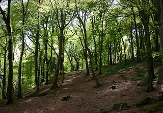 beech wood in spring