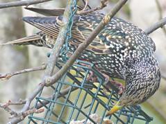 First Starling! ('cosmicgirl1960' NEW CANON CAMERA) Tags: birds garden nature feeders winter dartmoor devon yabbadabbadoo