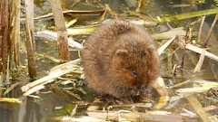 Water vole video (PhotoLoonie) Tags: video watervole wildlife nature rodent nottinghamcanal animal mammal britishwildlife vole