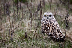 Velduil - Short-eared owl (Kiekma) Tags: velduil shortearedowl asioflammeus grass bird field animal