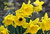 Bee Happy at Easter (Eleanor (No multiple invites please)) Tags: easter flowers daffodils yellowflowers bee kensingtongardens london nikond7200 march2018 coth coth5