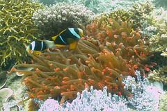 Clownfish and Sea Anemone, Mafia Island, Tanzania (jd1001) Tags: mafiaisland tanzania march 2018 sealifecamera dc1400