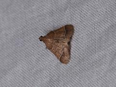 Pyralinae sp. (dhobern) Tags: 2018 china lepidoptera march xtbg xishuangbanna yunnan pyralidae pyralinae