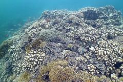 Hard Corals on top of coral reef, Chole Bay, Mafia Islands, Tanzania (jd1001) Tags: reef coral scubadiving underwater mafiaisland tanzania march 2018 sealifecamera dc1400
