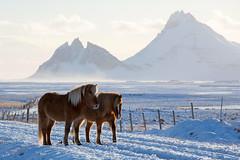 Icelandic Horses & Peaks (Sophie Carr Photography) Tags: icelandichorses horses iceland stafafell vestrahorn southeasticeland vesturhorn brunnhorn snowy afternoonlight