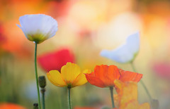 Poppies (rvtn) Tags: poppy poppies flowers bokeh yellow orange