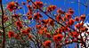 Coral Tree Blossoms (Erythrina caffra) (gerard eder) Tags: world travel reise viajes valencia europa europe españa spain spanien outdoor park parque blumen flowers flores coraltreeblossom blossom natur nature naturaleza tropical tree