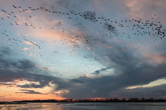 Sandhill_Cranes-61 (Beverly Houwing) Tags: nebraska sandhillcranes plattriver migration spring birds conservation cranetrust sanctuary protected flying sihouette clouds sky sunset orange glow unitedstates midwest
