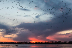 Sandhill_Cranes-18 (Beverly Houwing) Tags: nebraska sandhillcranes plattriver migration spring birds conservation cranetrust sanctuary protected flying sihouette clouds sky sunset red glow unitedstates midwest
