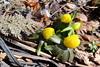 Winter aconite close-up (danielhast) Tags: madison flower yellow winter aconite eranthis hyemalis