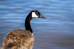 Canadian Goose (Balaji Photography - 4.8M views and Growing) Tags: goose bird waterbirds waterbird california californila napavalley lake water nature ecology usa colour