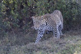 Leopard Prowling