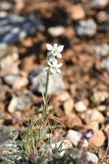 Narcissus dubius (esta_ahi) Tags: olèrdola narcissus dubius narcissusdubius amaryllidaceae narcís narciso blanco white flor flora flores silvestres penedès barcelona spain españa испания