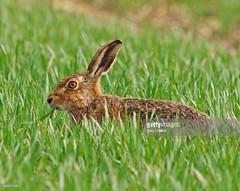 Hare (Gary Chalker, Thanks for over 3,000,000. views) Tags: hare mammal brownhare pentax pentaxk3ii k3ii pentaxfa600mmf4edif fa600mmf4edif fa600mm 600mm