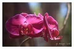 April Surprise (GR167) Tags: micronikkor fullframe 5d canon5dmarklll dof bokeh manualfocusnikonlens ais manualfocus vintageprimelens fotodiox 55micronikkor wildorchid flower macro floridakeys