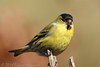 Siskin (Dougie Edmond) Tags: scotland unitedkingdom gb birds bird nature wildlife canon sunshine spring hide