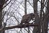 Owl Dinner (Tiara Rae Photography) Tags: owl barred bird mouse dinner predator eating tree nature wildlife circle life food chain nebraska omaha
