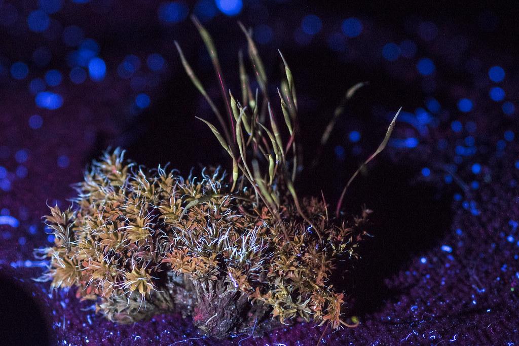 UV Florescence Moss