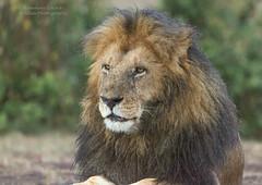 """Male Lion - Panthera Leo - """"Lipstick"""" (rosebudl1959) Tags: 2017 kenya lions masaimara zebraplains lipstick"""