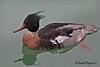 RED-BREASTED  MERCANSER // MERGUS  SERRATOR  (52-58cm) (tom webzell) Tags: naturethroughthelens