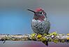 purdy boy floyd (sugarbear1956) Tags: hummingbird annas male