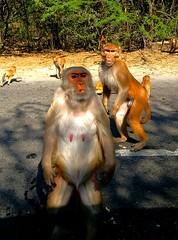 Well, I'm the Boss here.. (camaee29) Tags: monkey primate animal outdoor nature forest road wild wildlife nabha punjab india bir ngc