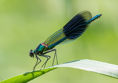 Banded Demoiselle (Lutra56) Tags: bandeddemoiselle calopteryxsplendens odonata damselfly damselflies insects nature chainbridgenaturereserve