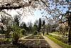 Een mooie lentedag in de Leuvense Kruidtuin (07/04/2018) (Kristel Van Loock) Tags: 7april2018 07042018 leuven kruidtuin kruidtuinleuven leuvensekruidtuin leuvencity atleuven seemyleuven visitleuven drieduizend 3000 leveninleuven louvain lovanio lovaina löwen uitinleuven loveleuven botanicalgarden botanischetuin botanischergarten ortobotanico jardinbotanique jardinbotaniquedelouvain jardimbotanico jardinbotanico giardinobotanico botanic vlaanderen vlaamsbrabant flemishbrabant visitflemishbrabant visitflanders visitbelgium brabantflamand brabantefiammingo belgium belgique belgien belgië belgica belgio europe europa lente lente2018 spring springtime springisintheair spring2018 primavera printemps prunus tree albero arbre hortusbotanicuslovaniensis visitvlaamsbrabant visitvlaanderen toerismeleuven toerismevlaamsbrabant stadleuven lentedag