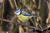 Blue Tit Leighton Moss F00180 RSPB D210bob DSC_8783 (D210bob) Tags: blue titleightonmoss f00180 rspb d210bob dsc8783 nikond7200 lancashire birdphotography birdphotos leightonmoss naturephotography naturephotos nikon nikon200500f56 wildlifephotography