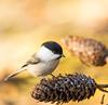 """Põhjatihane ja käbi !"" #põhjatihane #tihane #lind #käbi #canon (Igor ""Ixa"" Nael) Tags: põhjatihane willowtit tits tihane käbi bird wild nature"