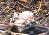 Iris laid 2nd egg 04-30-2018 a - Copy (selro4me) Tags: iris louis louie ng stan stanley hellgate missoulamontana montanaospreyproject