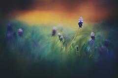 alice in wonderland (christian mu) Tags: flowers bokeh nature botanicalgarden botanischergarten germany münster muenster spring christianmu 85mm 8514gm 8514 gm gmaster sony sonya7riii sonya7rm3