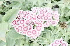 Flower Drawing (kendoman26) Tags: hss happyslidersunday fotosketcher sweetwilliam nikon nikond7100 tokinaatx1228prodx tokina tokina1228 flowers