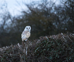 Hunting at Dusk (S Marwood) Tags: barnowl owl white bird hedge tree wild wildlife animal sky yorkshire canon700d nature hunting