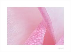 Dew On Rose (Meu :-)) Tags: macromondays allnatural dew rose pastel soft dreamy rosepetals abstract minimal macro garden flower