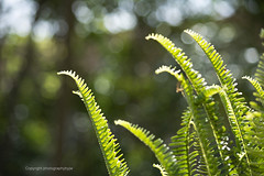 Sun Lit Fern (Photographybyjw) Tags: sun lit fern growing well healthy this early spring shot north carolina photographybyjw sunshine rural country foliage usa