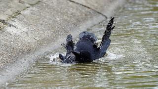 a crow taking a bath (3/9) : playing in my bath