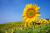 Stock Images (perfectionistreviews) Tags: bluesky closeup copyspace country europe farm field flowers green hill hillside horizontal italy landscape meadow naturalbeauty nature nobody picturesque rural scenic selectivefocus summer sunflowers travel tuscany vast yellow color photograph outdoors