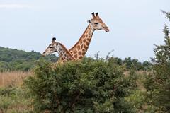 Giraffe in Nambiti-3 (johnaalex) Tags: d850 nambiti esiweni nikonafs80400f4556g safari africa southafrica giraffe