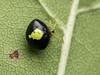 Famille Theridiidae - Theridula emertoni (Répertoire des insectes du Québec) Tags: arachnide araignée arachnida macro quebec spider