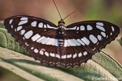 Athyma perius perius (Common Sergeant) (GeeC) Tags: animalia arthropoda athyma athymaperiusperius brushfootedbutterflies butterfliesmoths cambodia commonsergeant insecta kohkongprovince lepidoptera limenitidinae nature nymphalidae papilionoidea tatai truebutterflies