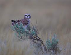 Short eared Owl (Khanh B. Tran) Tags: