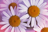 Margherite... (C-Smooth) Tags: leucanthemumvulgare margherite daisy daisies flowers