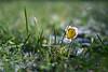 Reluctant daisy (Spannarama) Tags: daisy grass macro closeup snow bokeh cimko28mm cimko 28mm vintagelens manualfocus sunshine droplet mumsgarden lawn garden lowviewpoint ratseyeview